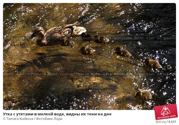Утка с утятами в мелкой воде, видны их тени на дне, фото № 4641, снято 3 июня 2006 г. (c) Tamara Kulikova / Фотобанк Лори