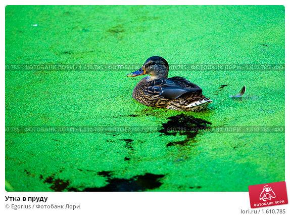 Купить «Утка в пруду», фото № 1610785, снято 11 октября 2009 г. (c) Egorius / Фотобанк Лори