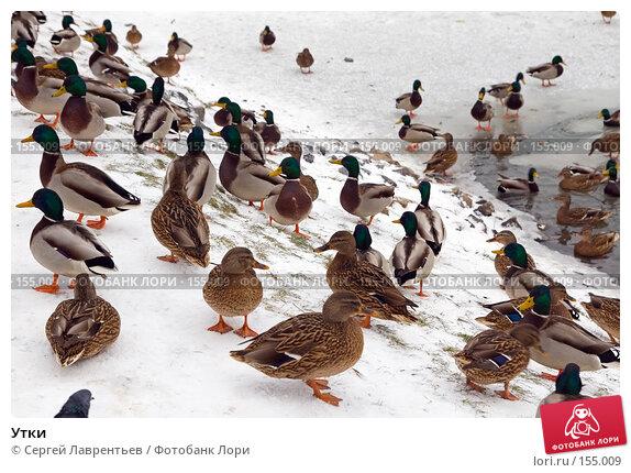 Купить «Утки», фото № 155009, снято 16 декабря 2007 г. (c) Сергей Лаврентьев / Фотобанк Лори