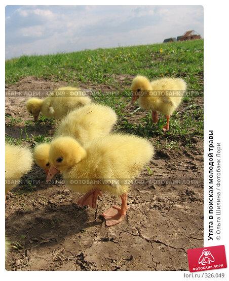 Утята в поисках молодой травы, фото № 326049, снято 27 мая 2008 г. (c) Ольга Шилина / Фотобанк Лори