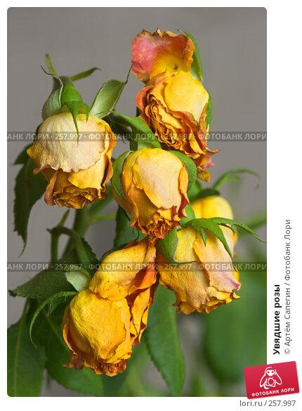 Увядшие розы, фото № 257997, снято 19 апреля 2008 г. (c) Артём Сапегин / Фотобанк Лори