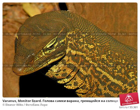 Varanus, Monitor lizard. Голова самки варана, греющейся на солнце, фото № 33361, снято 22 июня 2006 г. (c) Eleanor Wilks / Фотобанк Лори
