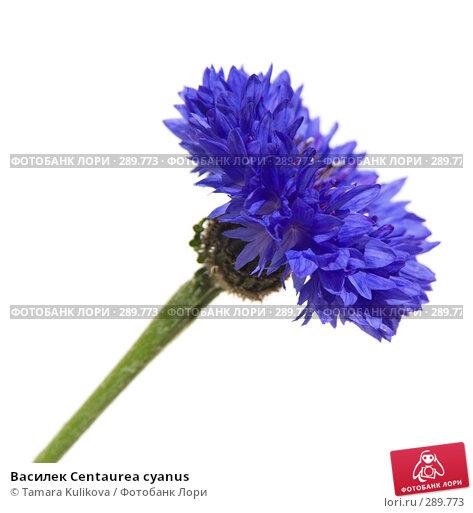 Василек Centaurea cyanus, фото № 289773, снято 18 мая 2008 г. (c) Tamara Kulikova / Фотобанк Лори