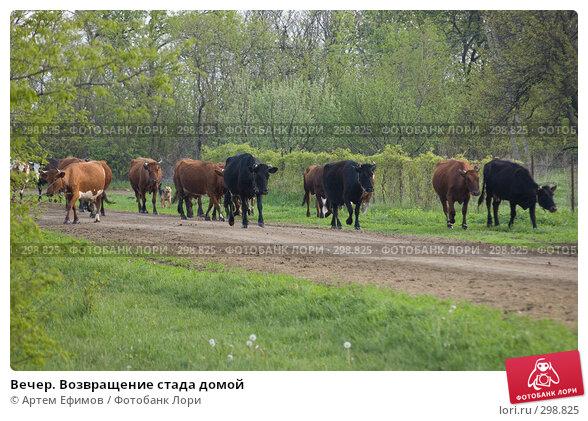 Вечер. Возвращение стада домой, фото № 298825, снято 2 мая 2008 г. (c) Артем Ефимов / Фотобанк Лори