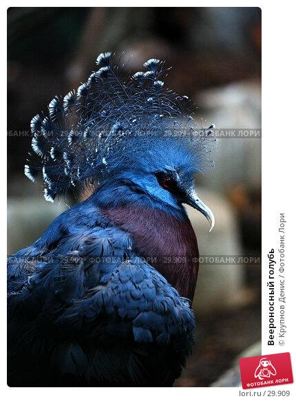 Веероносный голубь, фото № 29909, снято 4 марта 2007 г. (c) Крупнов Денис / Фотобанк Лори