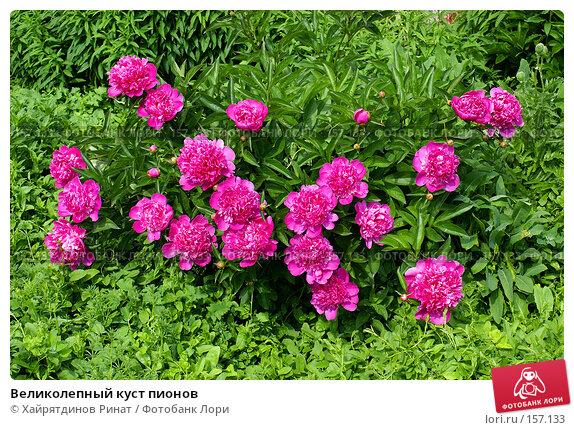 Великолепный куст пионов, фото № 157133, снято 15 июня 2007 г. (c) Хайрятдинов Ринат / Фотобанк Лори