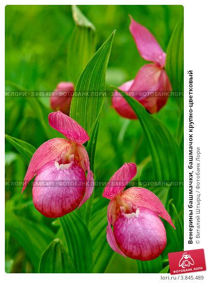 Венерины башмачки, башмачок крупно-цветковый. Стоковое фото, фотограф Виталий Штырц / Фотобанк Лори