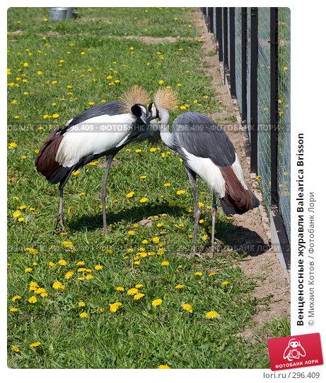 Венценосные журавли Balearica Brisson, фото № 296409, снято 13 мая 2008 г. (c) Михаил Котов / Фотобанк Лори