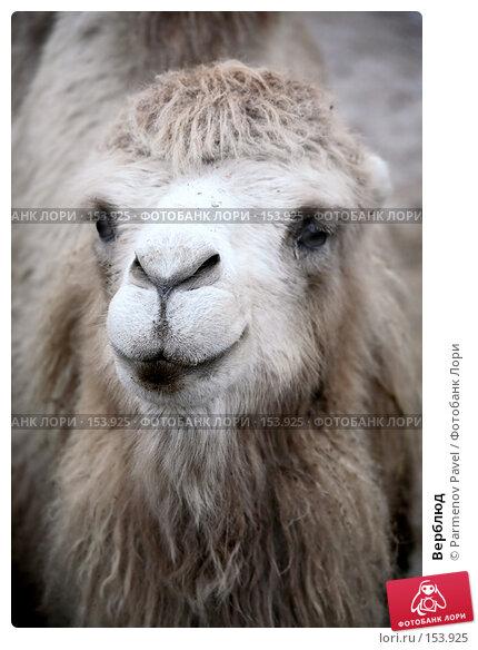 Купить «Верблюд», фото № 153925, снято 11 декабря 2007 г. (c) Parmenov Pavel / Фотобанк Лори