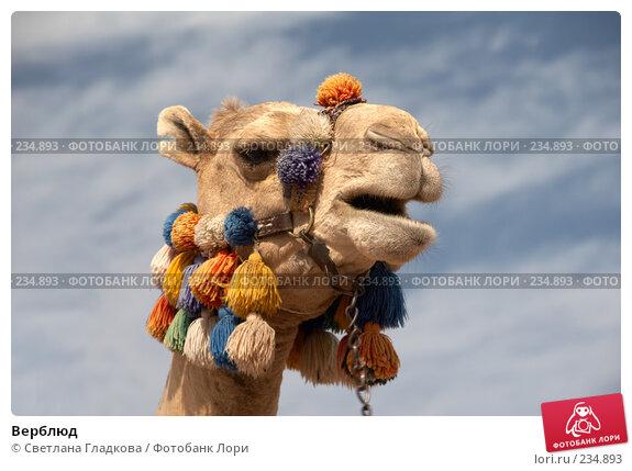 Верблюд, фото № 234893, снято 28 июля 2017 г. (c) Cветлана Гладкова / Фотобанк Лори