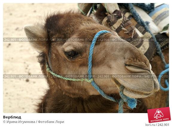 Верблюд, фото № 242901, снято 13 июня 2006 г. (c) Ирина Игумнова / Фотобанк Лори
