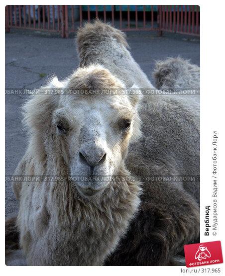 Верблюд, фото № 317965, снято 2 сентября 2006 г. (c) Мударисов Вадим / Фотобанк Лори