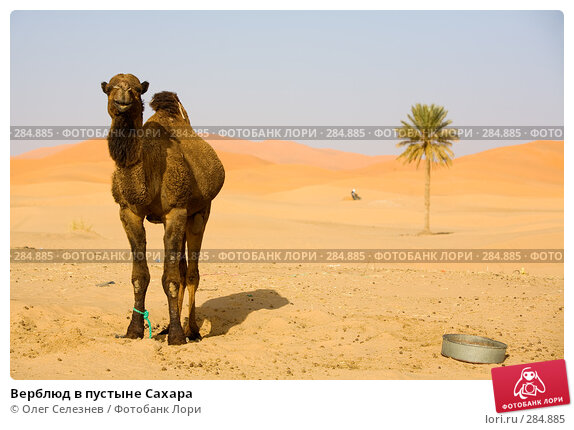 Верблюд в пустыне Сахара, фото № 284885, снято 28 февраля 2008 г. (c) Олег Селезнев / Фотобанк Лори
