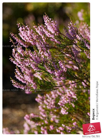 Вереск, фото № 56781, снято 31 июля 2006 г. (c) Argument / Фотобанк Лори