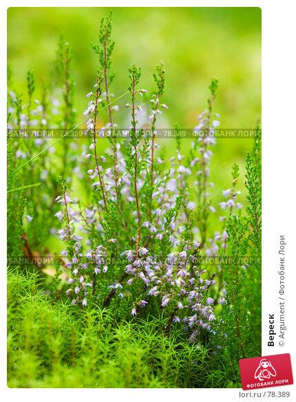 Вереск, фото № 78389, снято 12 августа 2007 г. (c) Argument / Фотобанк Лори