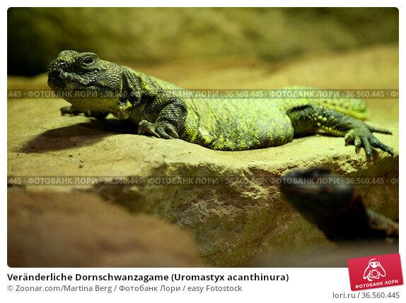 Veränderliche Dornschwanzagame (Uromastyx acanthinura) Стоковое фото, фотограф Zoonar.com/Martina Berg / easy Fotostock / Фотобанк Лори