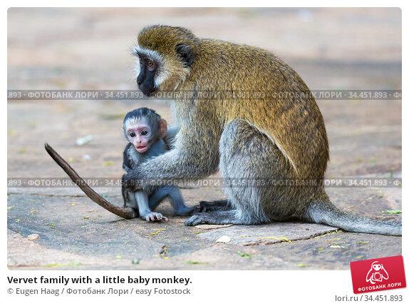 Vervet family with a little baby monkey. Стоковое фото, фотограф Eugen Haag / easy Fotostock / Фотобанк Лори