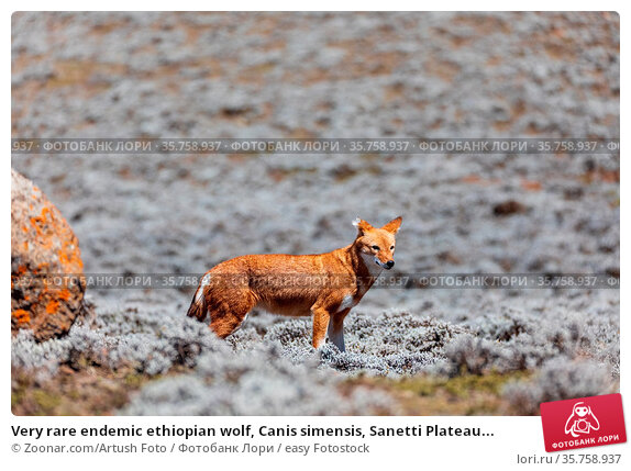 Very rare endemic ethiopian wolf, Canis simensis, Sanetti Plateau... Стоковое фото, фотограф Zoonar.com/Artush Foto / easy Fotostock / Фотобанк Лори