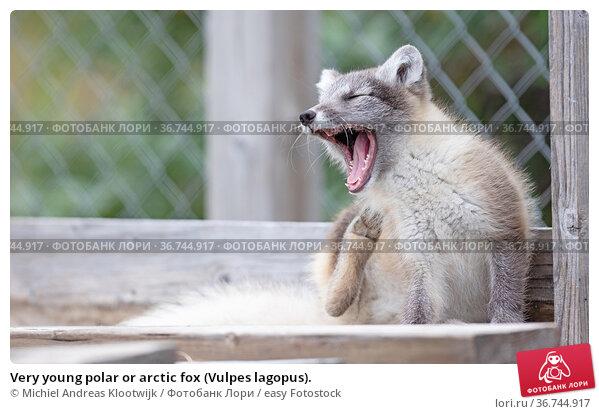 Very young polar or arctic fox (Vulpes lagopus). Стоковое фото, фотограф Michiel Andreas Klootwijk / easy Fotostock / Фотобанк Лори