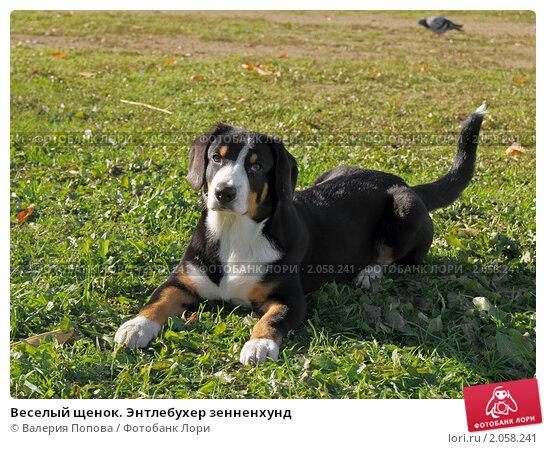 Купить «Веселый щенок. Энтлебухер зенненхунд», фото № 2058241, снято 9 октября 2010 г. (c) Валерия Попова / Фотобанк Лори