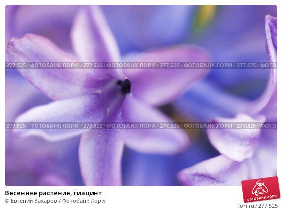 Весеннее растение, гиацинт, фото № 277525, снято 25 апреля 2008 г. (c) Евгений Захаров / Фотобанк Лори