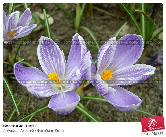 Купить «Весенние цветы», фото № 40637, снято 18 апреля 2007 г. (c) Удодов Алексей / Фотобанк Лори