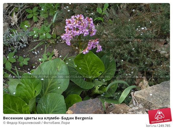Купить «Весенние цветы на клумбе- Бадан Bergenia», фото № 249785, снято 12 апреля 2008 г. (c) Федор Королевский / Фотобанк Лори