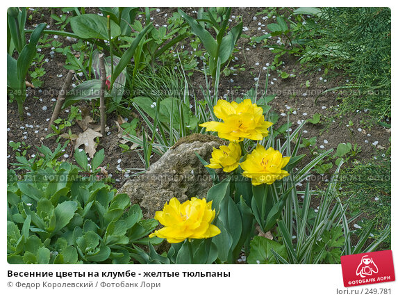 Весенние цветы на клумбе - желтые тюльпаны, фото № 249781, снято 12 апреля 2008 г. (c) Федор Королевский / Фотобанк Лори