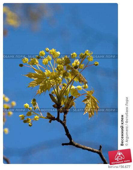 Весенний клен, фото № 56677, снято 10 мая 2007 г. (c) Argument / Фотобанк Лори