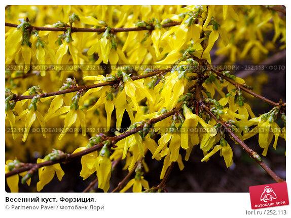 Весенний куст. Форзиция., фото № 252113, снято 15 апреля 2008 г. (c) Parmenov Pavel / Фотобанк Лори