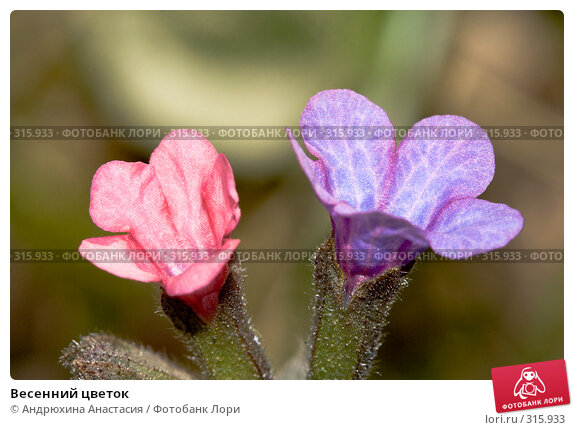 Весенний цветок, фото № 315933, снято 28 апреля 2008 г. (c) Андрюхина Анастасия / Фотобанк Лори