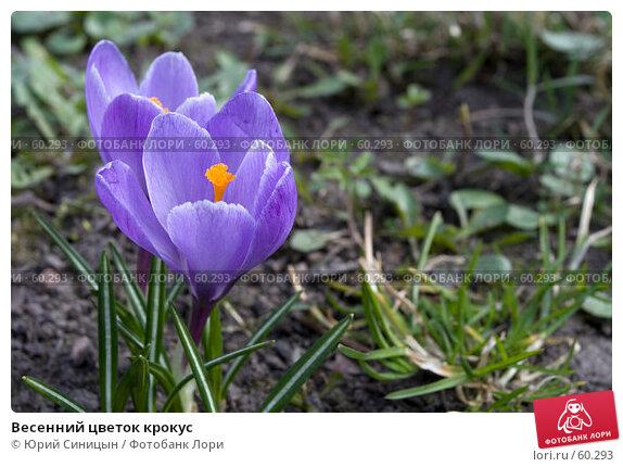 Купить «Весенний цветок крокус», фото № 60293, снято 3 апреля 2007 г. (c) Юрий Синицын / Фотобанк Лори