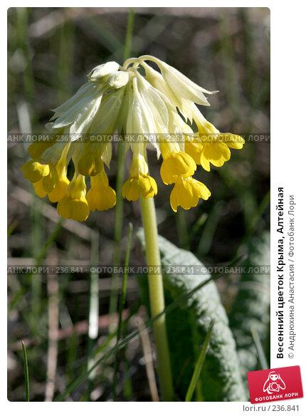 Весенний цветок Крыма, Алтейная, фото № 236841, снято 28 апреля 2006 г. (c) Андрюхина Анастасия / Фотобанк Лори