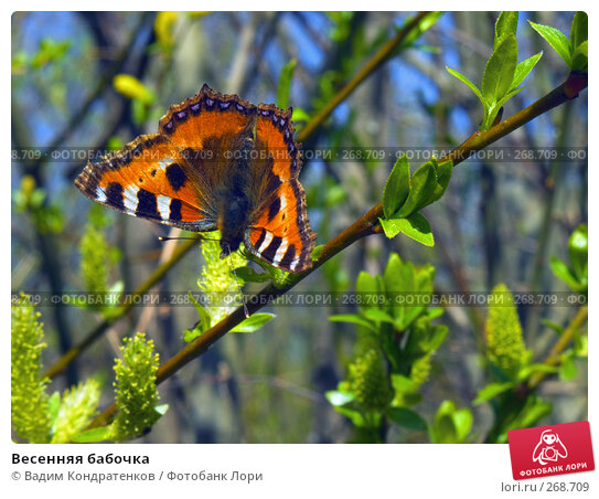 Купить «Весенняя бабочка», фото № 268709, снято 11 декабря 2017 г. (c) Вадим Кондратенков / Фотобанк Лори