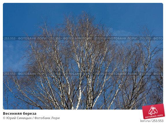 Весенняя береза, фото № 253553, снято 30 марта 2008 г. (c) Юрий Синицын / Фотобанк Лори