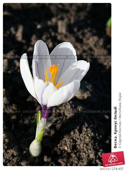Весна. Крокус белый, фото № 274437, снято 3 мая 2008 г. (c) Сергей Костин / Фотобанк Лори