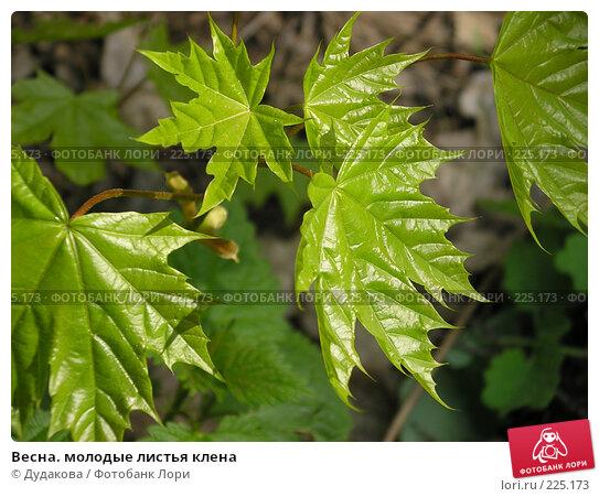 Весна. молодые листья клена, фото № 225173, снято 5 мая 2004 г. (c) Дудакова / Фотобанк Лори