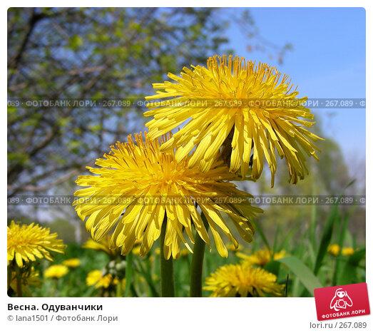 Весна. Одуванчики, эксклюзивное фото № 267089, снято 29 апреля 2008 г. (c) lana1501 / Фотобанк Лори