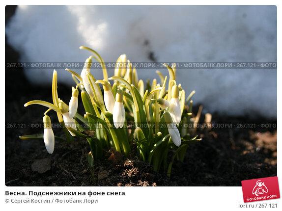 Весна. Подснежники на фоне снега, фото № 267121, снято 26 апреля 2008 г. (c) Сергей Костин / Фотобанк Лори