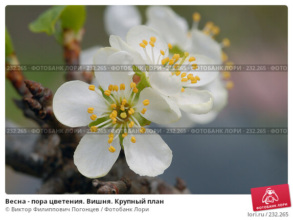 Купить «Весна - пора цветения. Вишня. Крупный план», фото № 232265, снято 22 апреля 2006 г. (c) Виктор Филиппович Погонцев / Фотобанк Лори