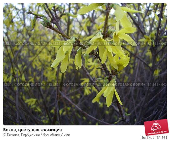 Весна, цветущая форзиция, фото № 131561, снято 6 апреля 2006 г. (c) Галина  Горбунова / Фотобанк Лори