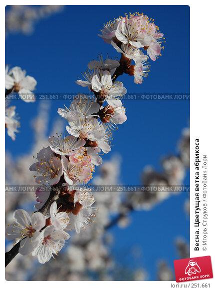 Весна. Цветущая ветка абрикоса, фото № 251661, снято 12 апреля 2008 г. (c) Игорь Струков / Фотобанк Лори