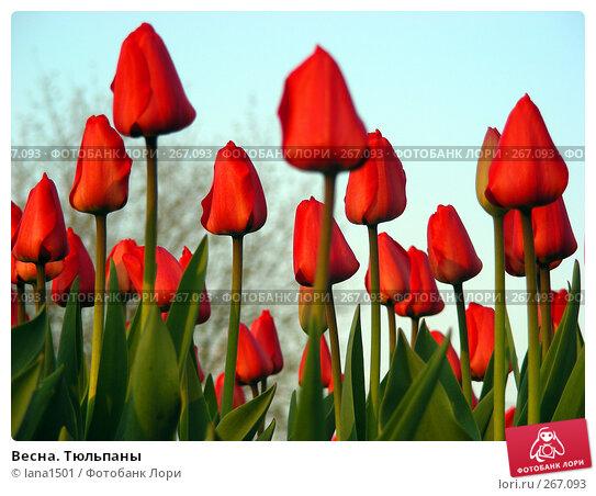 Весна. Тюльпаны, эксклюзивное фото № 267093, снято 28 апреля 2008 г. (c) lana1501 / Фотобанк Лори