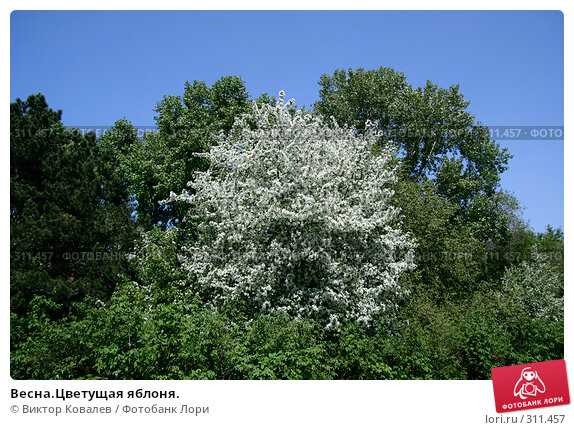 Весна.Цветущая яблоня., фото № 311457, снято 22 мая 2008 г. (c) Виктор Ковалев / Фотобанк Лори