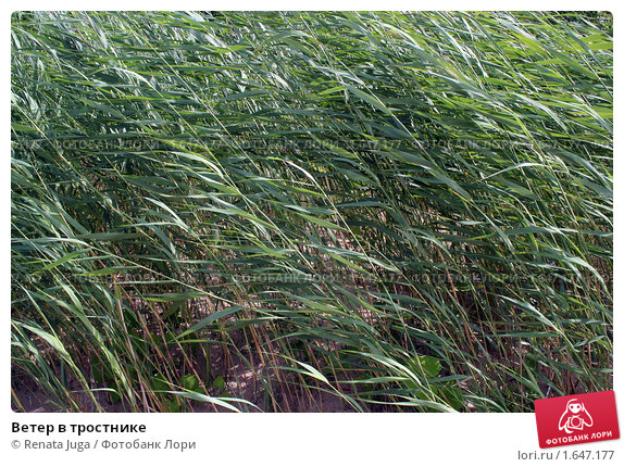 Ветер в тростнике. Стоковое фото, фотограф Renata Juga / Фотобанк Лори