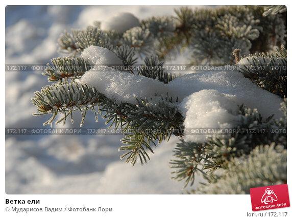 Ветка ели, фото № 172117, снято 9 января 2008 г. (c) Мударисов Вадим / Фотобанк Лори