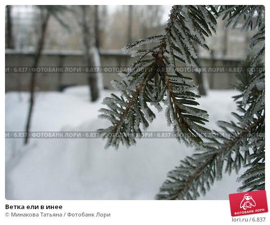 Ветка ели в инее, фото № 6837, снято 21 февраля 2006 г. (c) Минакова Татьяна / Фотобанк Лори