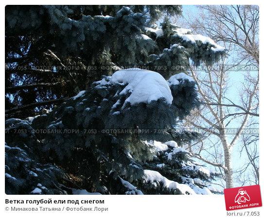 Ветка голубой ели под снегом, фото № 7053, снято 3 марта 2006 г. (c) Минакова Татьяна / Фотобанк Лори