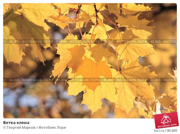 Ветка клена, фото № 40805, снято 8 октября 2005 г. (c) Георгий Марков / Фотобанк Лори