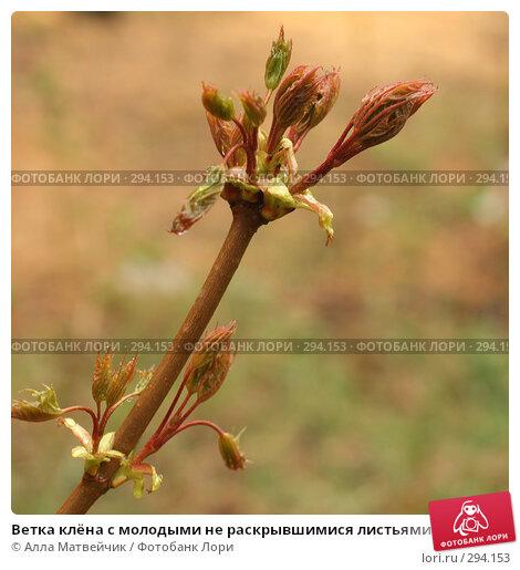 Купить «Ветка клёна с молодыми не раскрывшимися листьями», фото № 294153, снято 18 мая 2008 г. (c) Алла Матвейчик / Фотобанк Лори